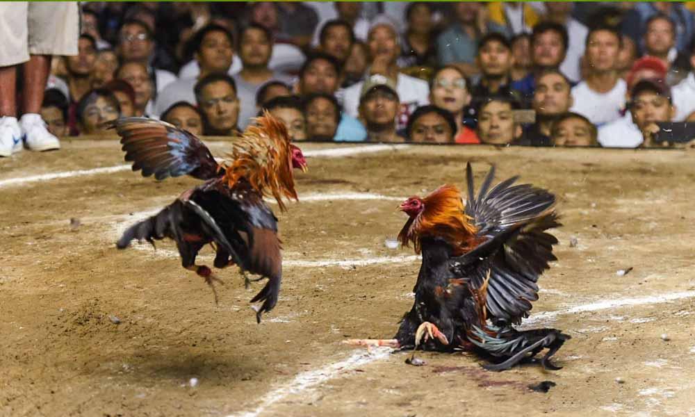 Tham gia đá gà online tại Việt Nam